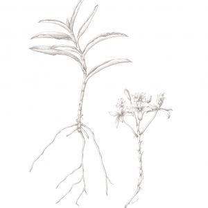 crucifix-orchid