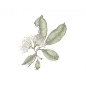 syzygium-smithii-white